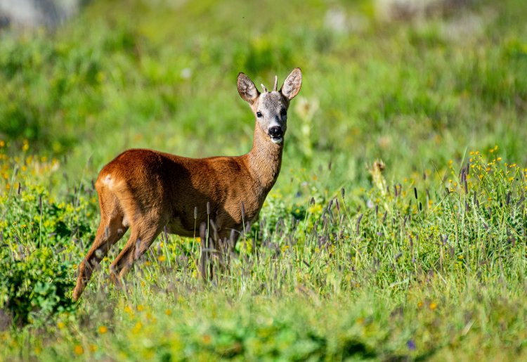 The deer Bellow : a sound show in the Val des Dix